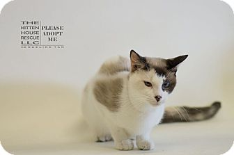 Siamese Cat for adoption in Houston, Texas - LI MEI