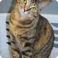 Domestic Shorthair Cat for adoption in Bradenton, Florida - Blair