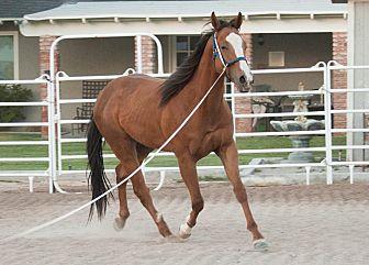 Quarterhorse Mix for adoption in Las Vegas, Nevada - Boone