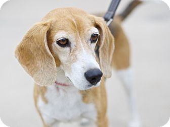 Beagle Mix Dog for adoption in Great Falls, Montana - Cindy