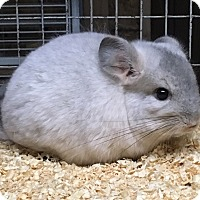 Adopt A Pet :: 4m mosaic chinchilla - Hammond, IN