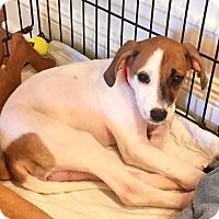 Adopt A Pet :: Kari - Bedford Hills, NY