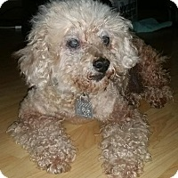 Poodle (Miniature) Dog for adoption in Redondo Beach, California - Ricky - courtesy