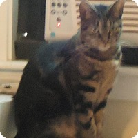 Domestic Shorthair Cat for adoption in Riverside, Rhode Island - Alyssa