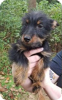 Yorkie, Yorkshire Terrier Mix Puppy for adoption in Matawan, New Jersey - Java
