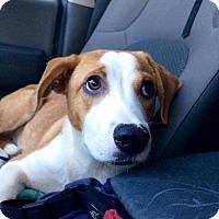 Adopt A Pet :: Fitzgerald - Hopkinton, MA