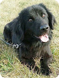 Golden Retriever/Corgi Mix Puppy for adoption in Oswego, Illinois - I'M ADOPTED Stogie