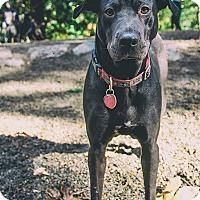 Adopt A Pet :: Cabaret - Seattle, WA