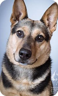 German Shepherd Dog Mix Dog for adoption in Norman, Oklahoma - Doro