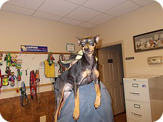 Miniature Pinscher Dog for adoption in Heber Springs, Arkansas - Damon