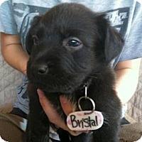 Adopt A Pet :: Bristol - Phoenix, AZ