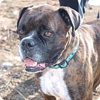 Adopt A Pet :: Bowie - Reno, NV