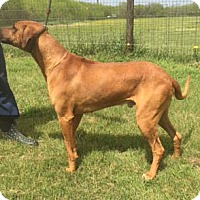 Rhodesian Ridgeback Dog for adoption in Seguin, Texas - Decker