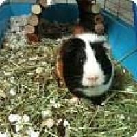Guinea Pig for adoption in Edmonton, Alberta - Pig Pig