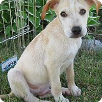 Adopt A Pet :: Rio - Schaumburg, IL