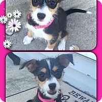 Adopt A Pet :: Stella- Tiny! - Genoa City, WI