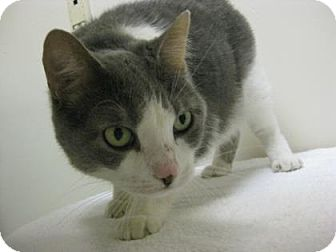 Domestic Shorthair Cat for adoption in Gary, Indiana - Leah
