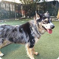 Australian Shepherd/Akita Mix Dog for adoption in Hayward, California - Astro