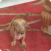 Dachshund Dog for adoption in Columbia, Tennessee - Shotzie in FL