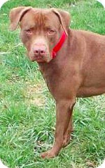 Labrador Retriever/Pit Bull Terrier Mix Dog for adoption in Brunswick, Ohio - Louie
