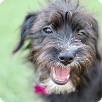 Adopt A Pet :: Luna - Litchfield Park, AZ