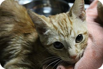 Domestic Shorthair Kitten for adoption in Los Angeles, California - Hunter