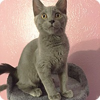 Adopt A Pet :: Earl Grey - Arlington/Ft Worth, TX