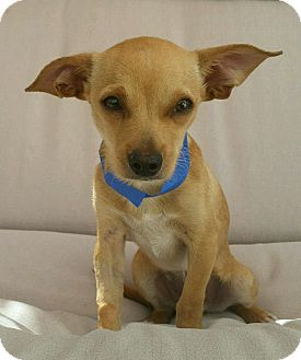 Chihuahua Mix Dog for adoption in Thousand Oaks, California - Kona