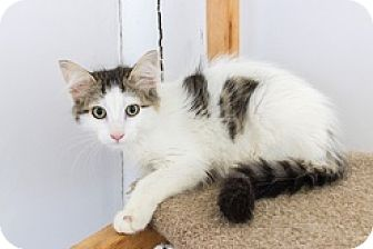 Domestic Longhair Kitten for adoption in Baltimore, Maryland - Sage