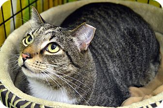 Domestic Shorthair Cat for adoption in Richmond, Virginia - Mick