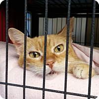 Adopt A Pet :: Westie - Templeton, MA