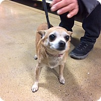 Chihuahua Mix Dog for adoption in Aurora, Illinois - Chiclet