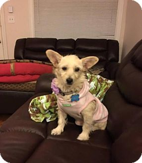 Cairn Terrier Mix Dog for adoption in Houston, Texas - Colby