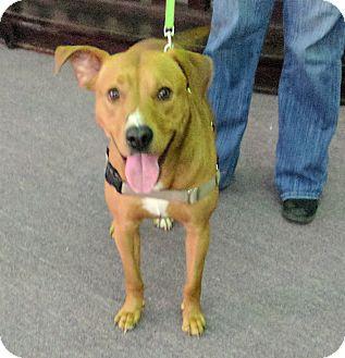 Labrador Retriever/Terrier (Unknown Type, Medium) Mix Dog for adoption in Portland, Maine - Indy
