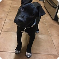 Adopt A Pet :: Milton - Westminster, CO