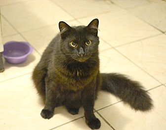 Domestic Longhair Cat for adoption in Queens, New York - Raphael