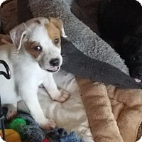 Adopt A Pet :: Snoopy - Von Ormy, TX