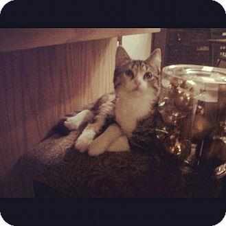 Domestic Shorthair Kitten for adoption in Douglas, Ontario - Myra
