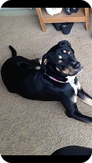 Black and Tan Coonhound/Labrador Retriever Mix Dog for adoption in Orlando, Florida - June