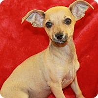 Adopt A Pet :: Echo - Chandler, AZ