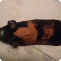 Guinea Pig for adoption in Lovingston, Virginia - Remington (COURTESY 2/5/16)