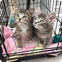 Adopt A Pet :: Antler - Chicago, IL