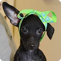 Adopt A Pet :: Sheba - Independence, MO