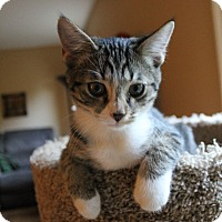 Domestic Shorthair Kitten for adoption in Chattanooga, Tennessee - Cozmo