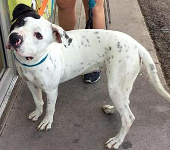 Boxer/Labrador Retriever Mix Dog for adoption in Phoenix, Arizona - Picnic