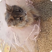 Domestic Longhair Cat for adoption in Houston Acres, Kentucky - Dutch