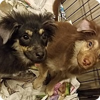 Adopt A Pet :: Shepherd/Collie mix puppies! - Chicago, IL