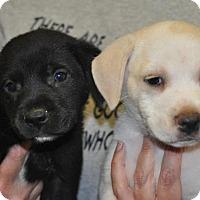 Adopt A Pet :: Gallagher (tan pup) - Buffalo, NY