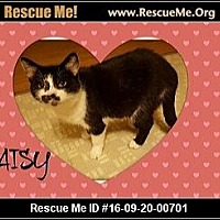 Domestic Shorthair Cat for adoption in Highland, Michigan - Daisy