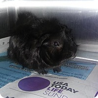 Guinea Pig for adoption in Olivet, Michigan - Boomer